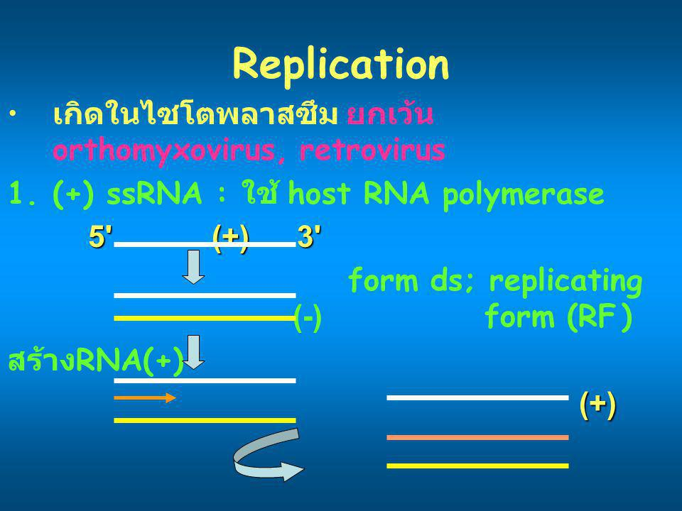 Replication เกิดในไซโตพลาสซึม ยกเว้น orthomyxovirus, retrovirus 1.(+) ssRNA : ใช้ host RNA polymerase 5' (+) 3' form ds; replicating (-) form (RF) สร้