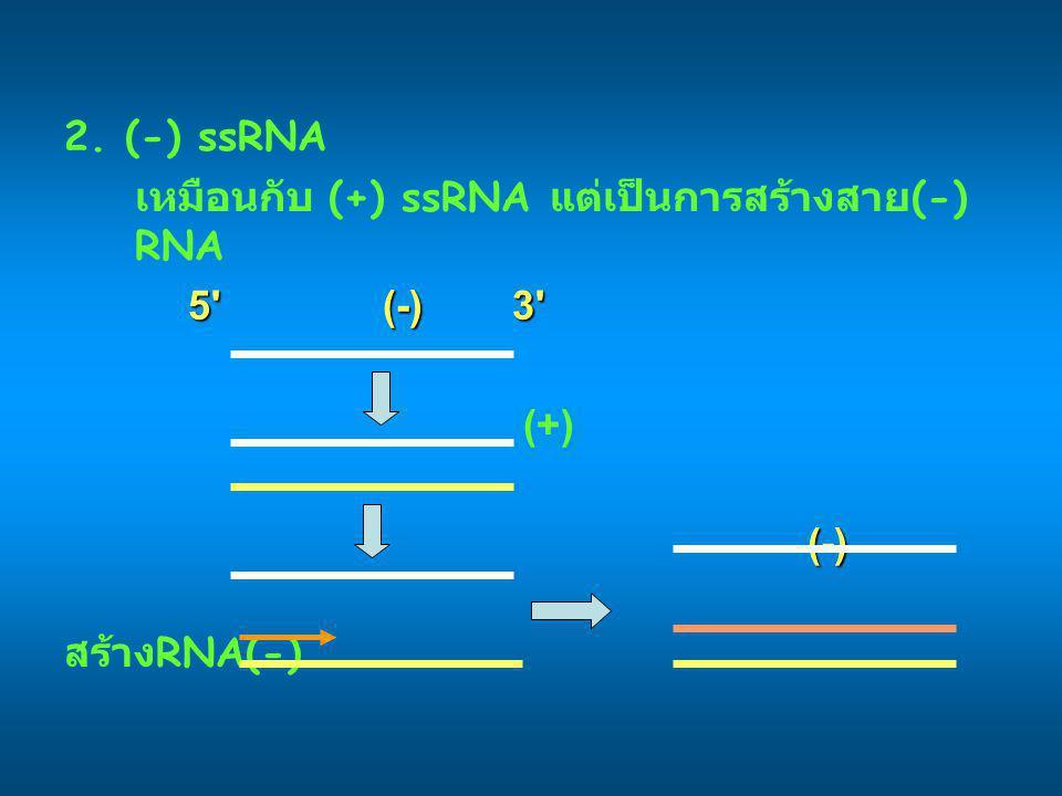2. (-) ssRNA เหมือนกับ (+) ssRNA แต่เป็นการสร้างสาย (-) RNA 5' (-) 3' (+)(-) สร้าง RNA(-)