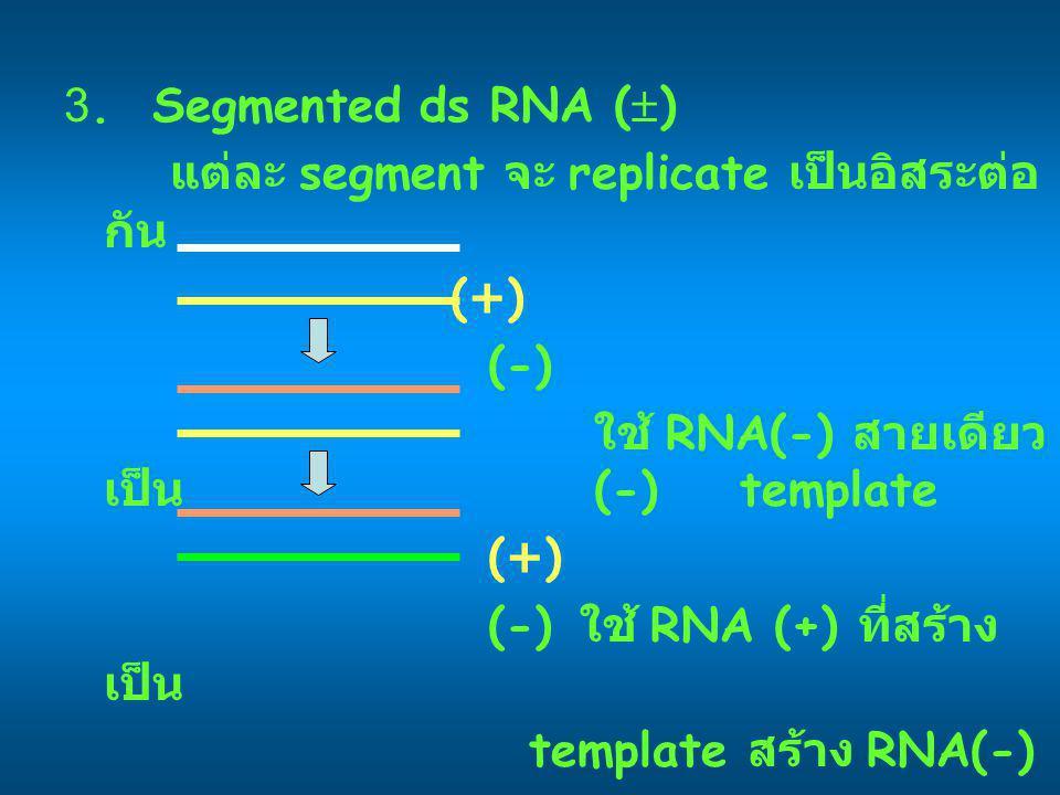 3. Segmented ds RNA (  ) แต่ละ segment จะ replicate เป็นอิสระต่อ กัน (+) (-) ใช้ RNA(-) สายเดียว เป็น (-) template (+) (-) ใช้ RNA (+) ที่สร้าง เป็น