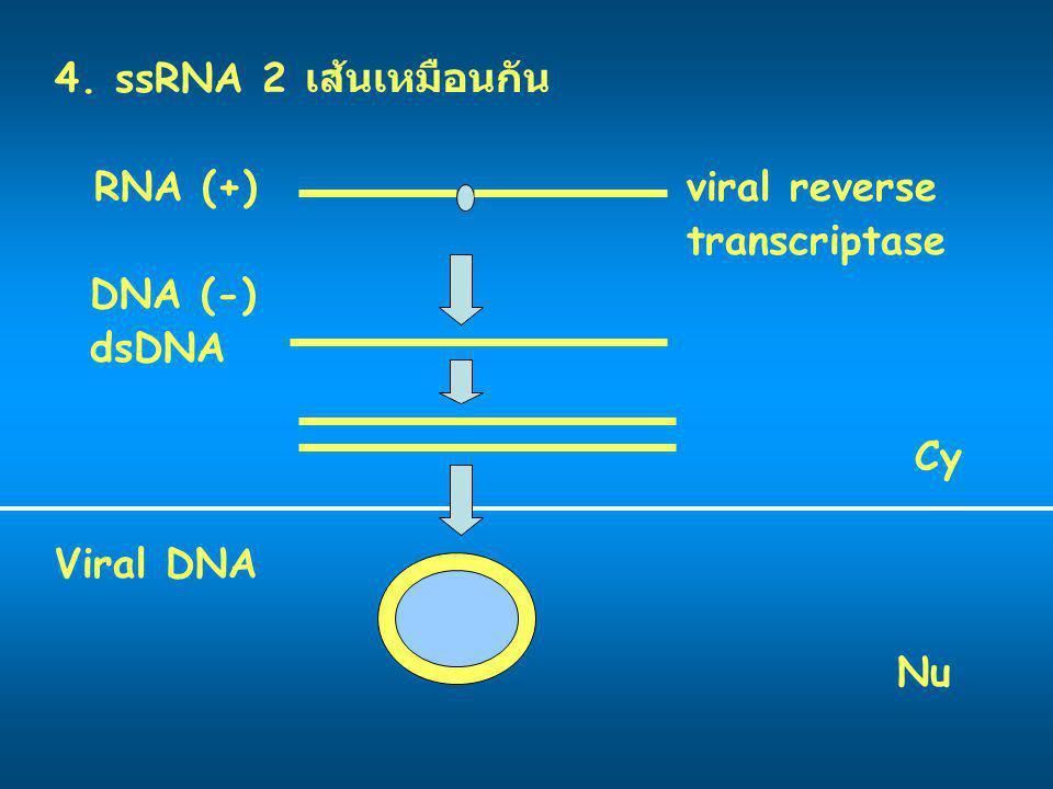 4. ssRNA 2 เส้นเหมือนกัน RNA (+)viral reverse transcriptase DNA (-) dsDNA Cy Viral DNA Nu