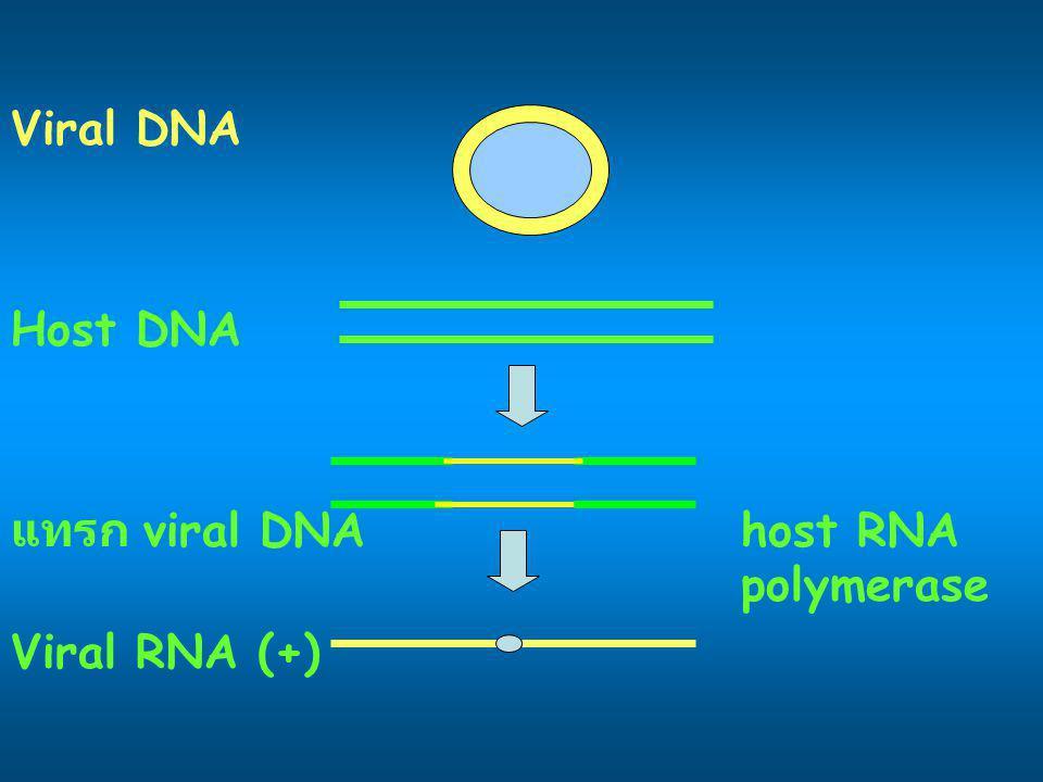 Viral DNA Host DNA แทรก viral DNAhost RNA polymerase Viral RNA (+)
