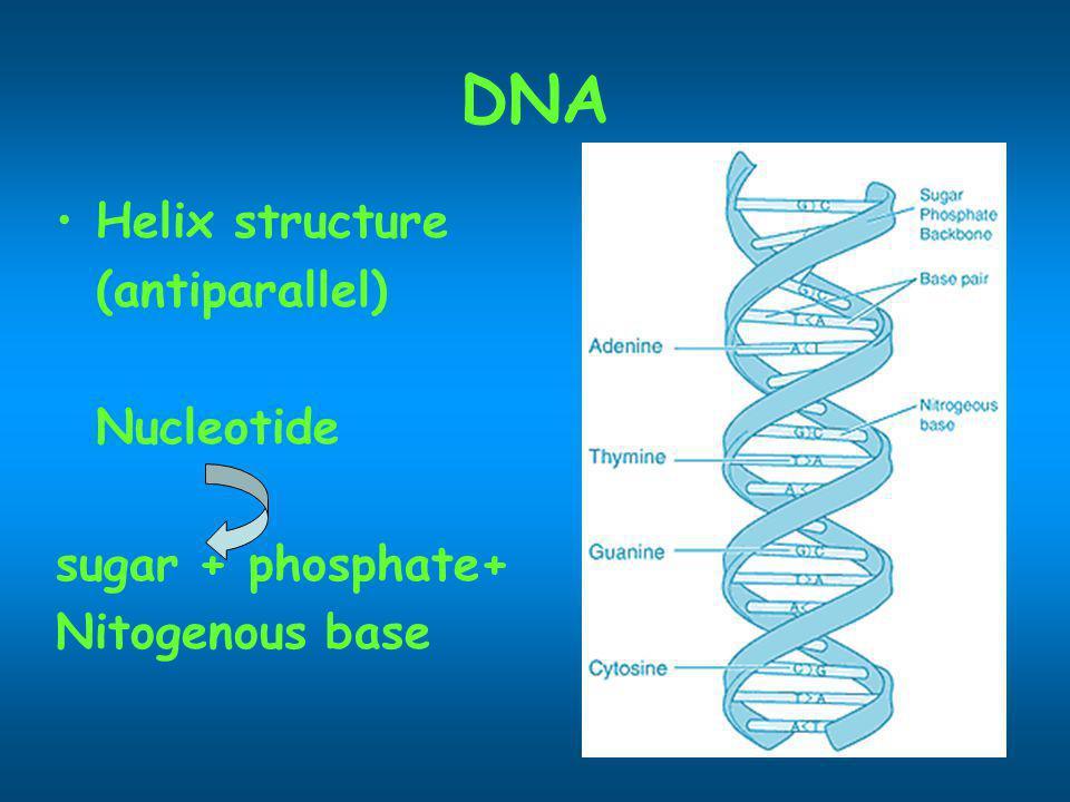 Nucleotide 2 สาย ยึดติดกันด้วย H- bond ระหว่างเบสคู่สม Adenine กับ Thymine Guanine กับ Cytosine Replication 3 DNA polymerase เติม nucleotide ที่ ปลาย 3 5 3 (5 3 )