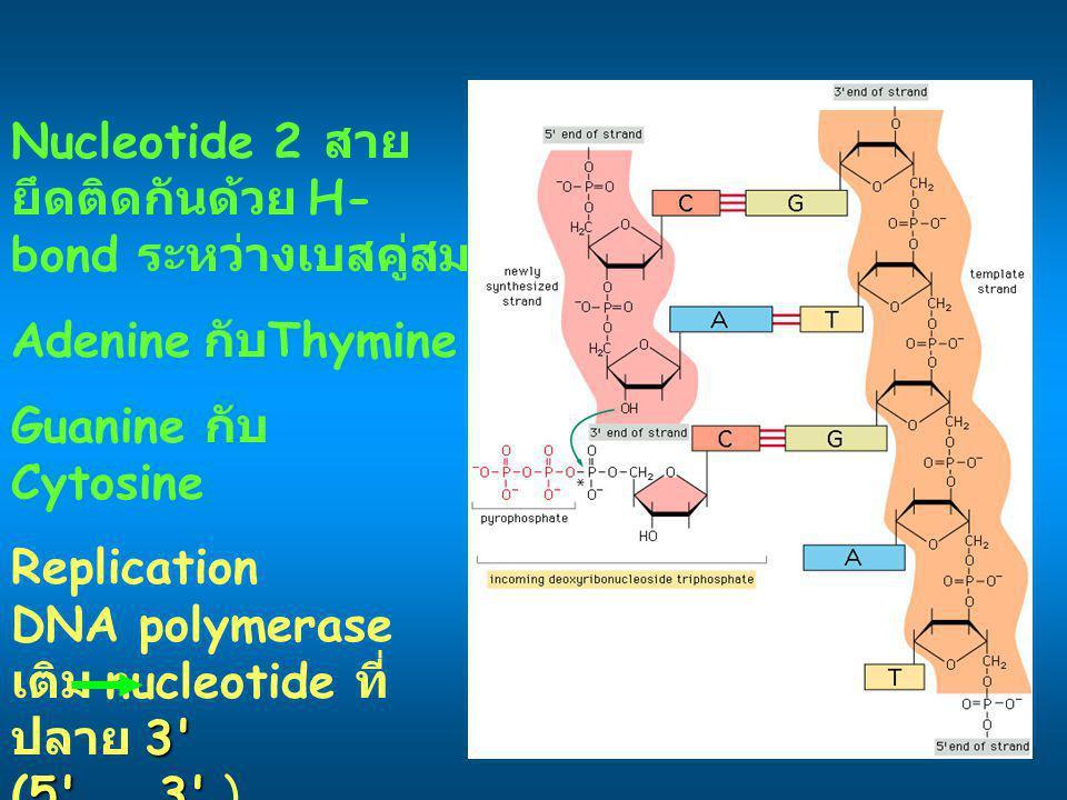 Nucleotide 2 สาย ยึดติดกันด้วย H- bond ระหว่างเบสคู่สม Adenine กับ Thymine Guanine กับ Cytosine Replication 3' DNA polymerase เติม nucleotide ที่ ปลาย