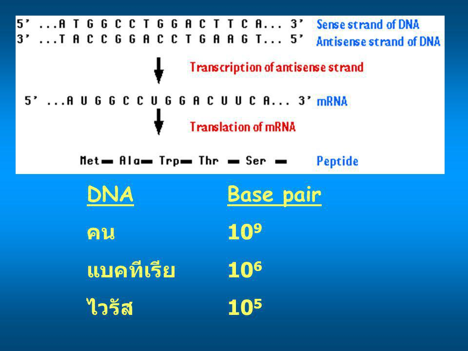 DNABase pair คน 10 9 แบคทีเรีย 10 6 ไวรัส 10 5