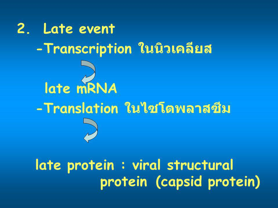 Replication เกิดในไซโตพลาสซึม ยกเว้น orthomyxovirus, retrovirus 1.(+) ssRNA : ใช้ host RNA polymerase 5 (+) 3 form ds; replicating (-) form (RF) สร้าง RNA(+) (+)