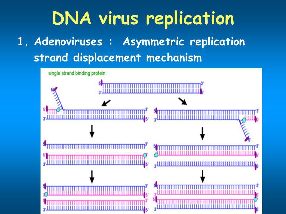 DNA virus replication 1.Adenoviruses : Asymmetric replication strand displacement mechanism
