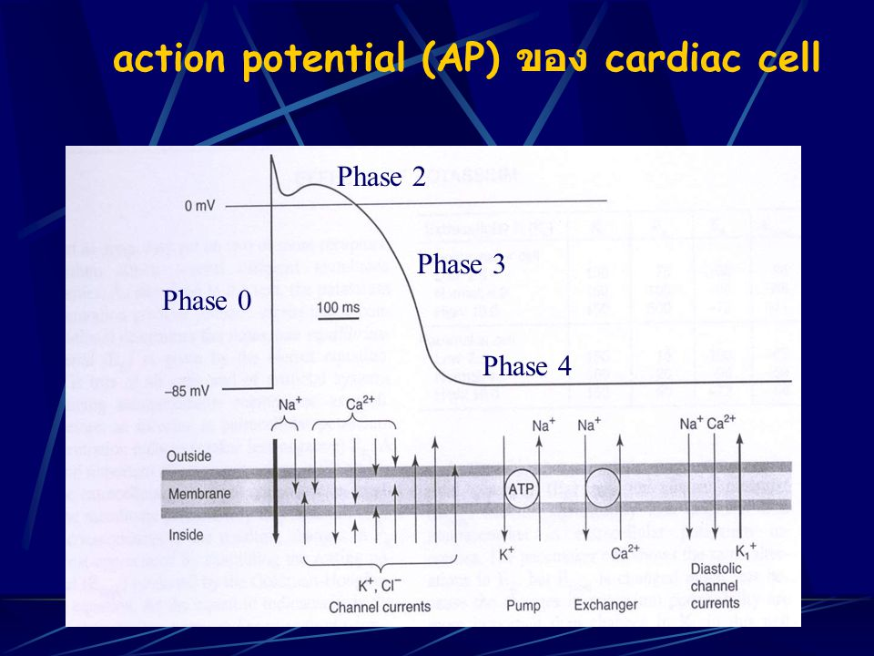 action potential (AP) ของ cardiac cell Phase 0 Phase 2 Phase 3 Phase 4
