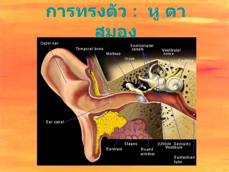 การทรงตัว : หู ตา สมอง