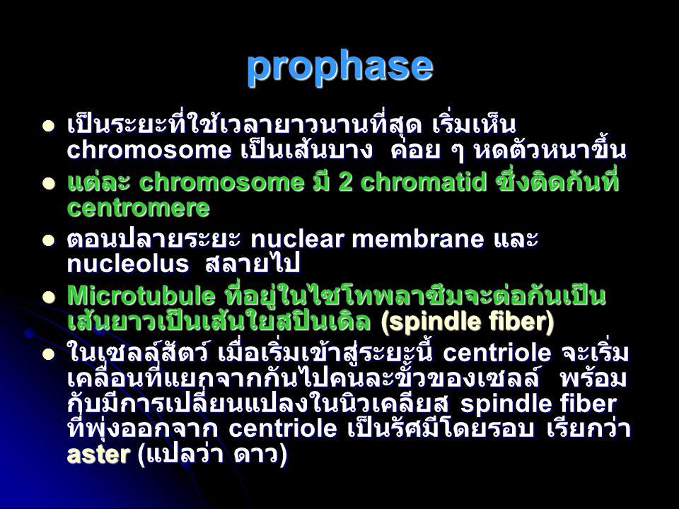 prophase เป็นระยะที่ใช้เวลายาวนานที่สุด เริ่มเห็น chromosome เป็นเส้นบาง ค่อย ๆ หดตัวหนาขึ้น เป็นระยะที่ใช้เวลายาวนานที่สุด เริ่มเห็น chromosome เป็นเ
