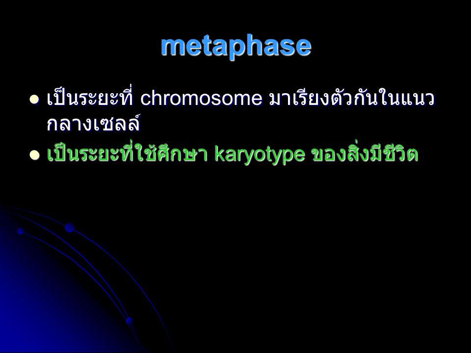 metaphase เป็นระยะที่ chromosome มาเรียงตัวกันในแนว กลางเซลล์ เป็นระยะที่ chromosome มาเรียงตัวกันในแนว กลางเซลล์ เป็นระยะที่ใช้ศึกษา karyotype ของสิ่