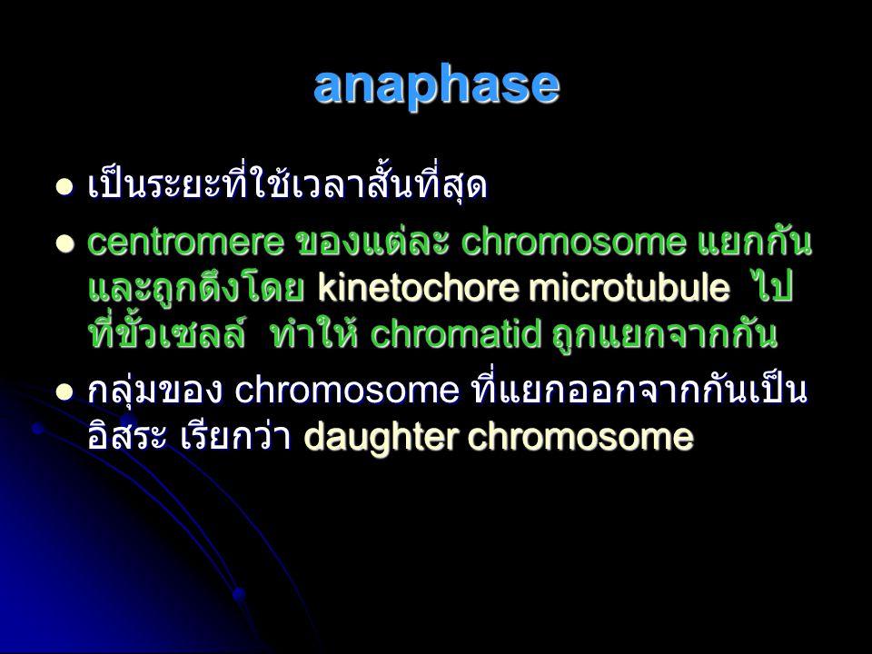 anaphase เป็นระยะที่ใช้เวลาสั้นที่สุด เป็นระยะที่ใช้เวลาสั้นที่สุด centromere ของแต่ละ chromosome แยกกัน และถูกดึงโดย kinetochore microtubule ไป ที่ขั
