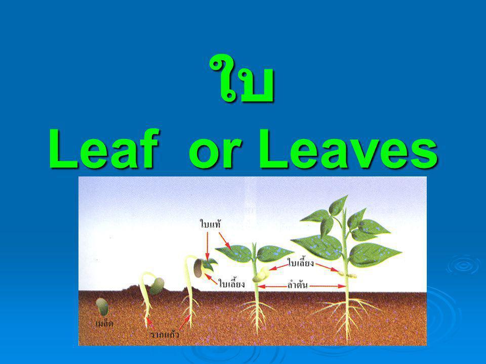 ใบ คือ อวัยวะของพืชที่เจริญออกมาจากข้อ ของลำต้นและกิ่ง ใบส่วนใหญ่จะมีสารสีเขียวเรียกว่า คลอโรฟิลล์  ใบมีรูปร่างและขนาดแตกต่างกันไปตามชนิด ของพืช ใบประกอบด้วย ก้านใบ แผ่นใบ เส้น กลาง และเส้นใบ