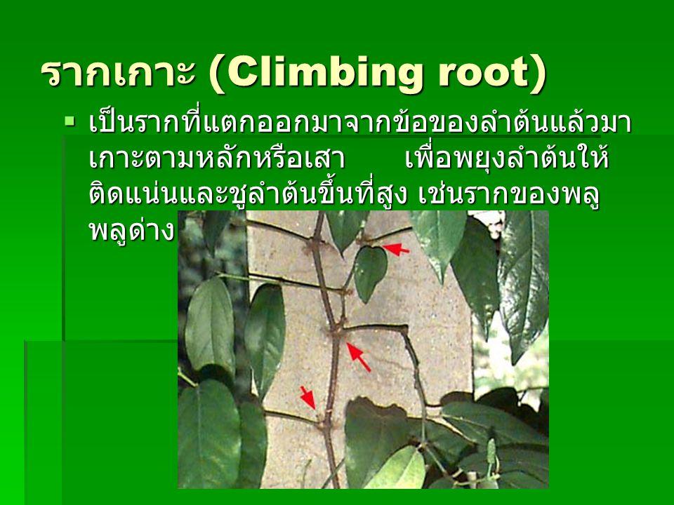 รากเกาะ (Climbing root)  เป็นรากที่แตกออกมาจากข้อของลำต้นแล้วมา เกาะตามหลักหรือเสา เพื่อพยุงลำต้นให้ ติดแน่นและชูลำต้นขึ้นที่สูง เช่นรากของพลู พลูด่า