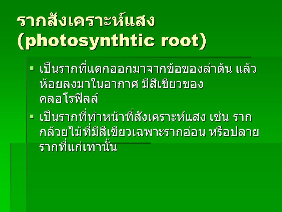 รากสังเคราะห์แสง (photosynthtic root)  เป็นรากที่แตกออกมาจากข้อของลำต้น แล้ว ห้อยลงมาในอากาศ มีสีเขียวของ คลอโรฟิลล์  เป็นรากที่แตกออกมาจากข้อของลำต