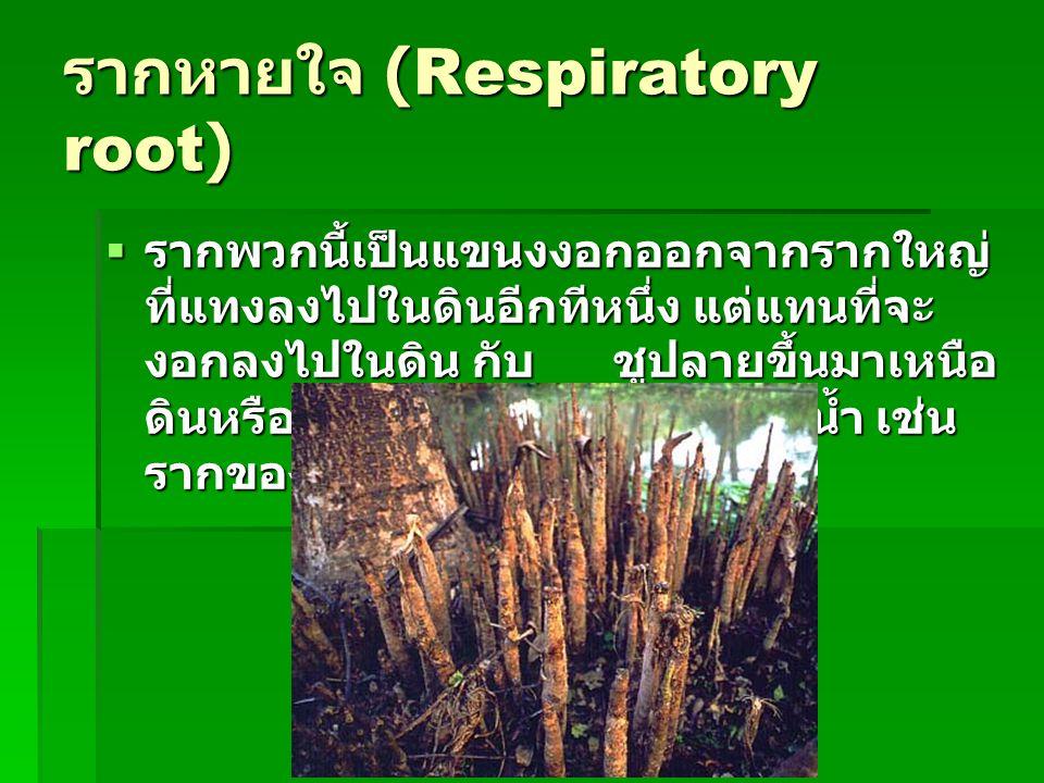 รากหายใจ (Respiratory root)  รากพวกนี้เป็นแขนงงอกออกจากรากใหญ่ ที่แทงลงไปในดินอีกทีหนึ่ง แต่แทนที่จะ งอกลงไปในดิน กับ ชูปลายขึ้นมาเหนือ ดินหรือผิวน้ำ
