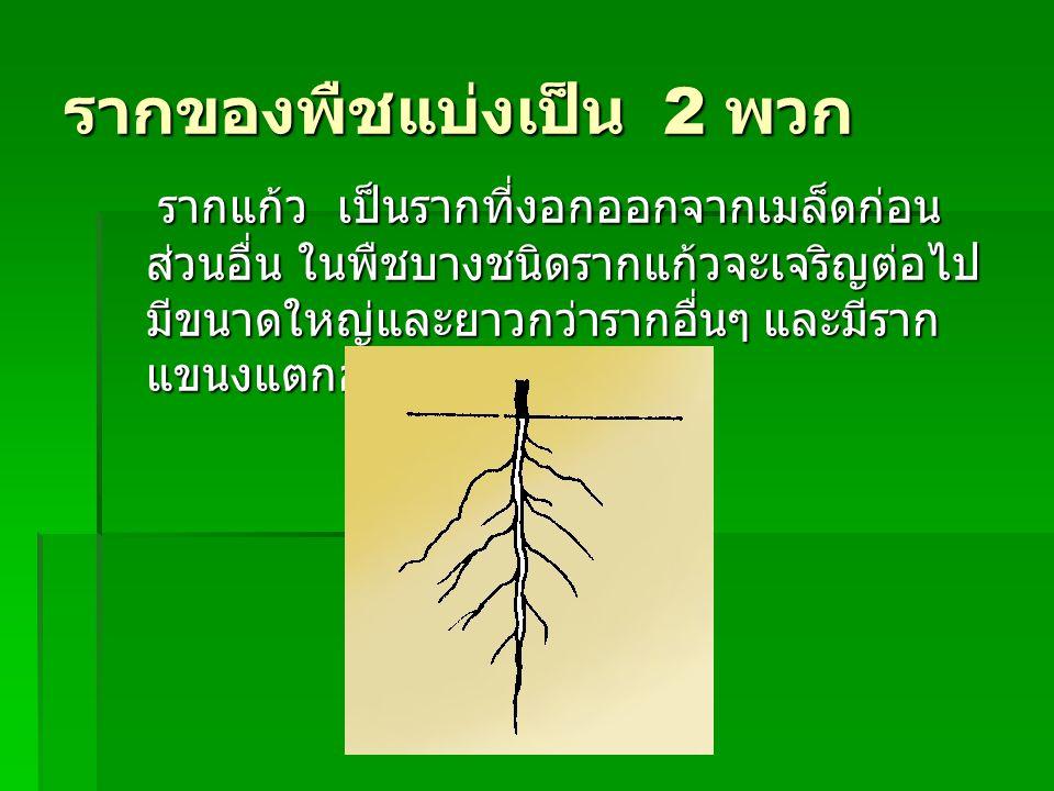 รากของพืชแบ่งเป็น 2 พวก รากแก้ว เป็นรากที่งอกออกจากเมล็ดก่อน ส่วนอื่น ในพืชบางชนิดรากแก้วจะเจริญต่อไป มีขนาดใหญ่และยาวกว่ารากอื่นๆ และมีราก แขนงแตกออก