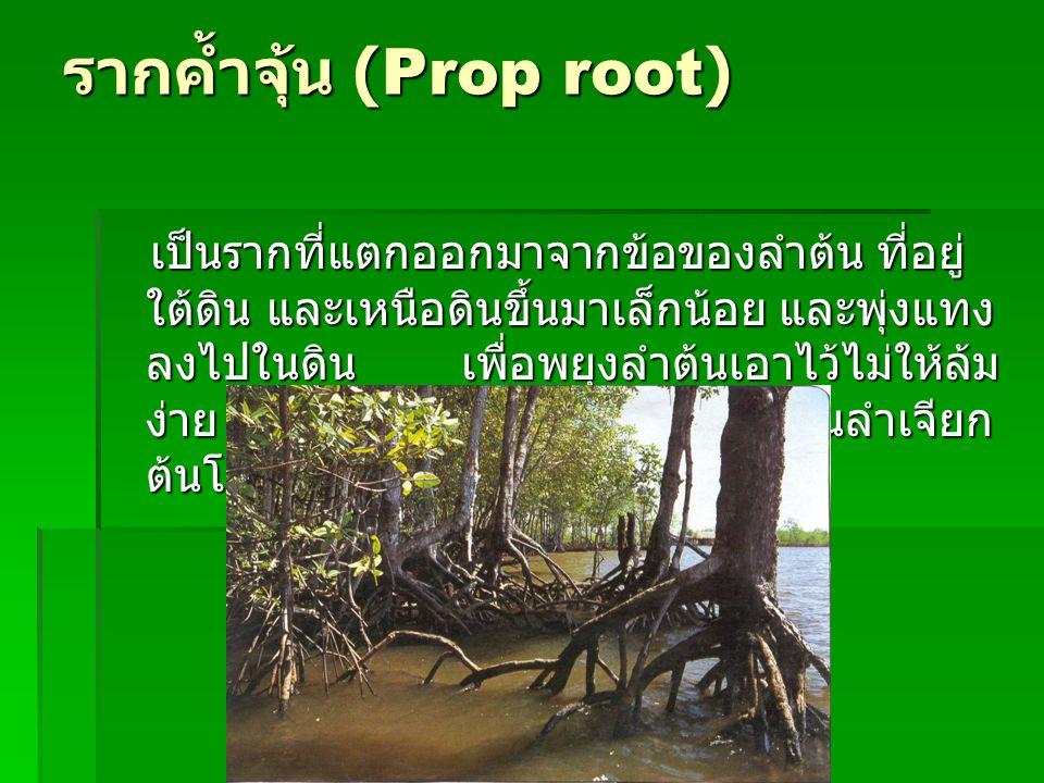 รากค้ำจุ้น (Prop root) เป็นรากที่แตกออกมาจากข้อของลำต้น ที่อยู่ ใต้ดิน และเหนือดินขึ้นมาเล็กน้อย และพุ่งแทง ลงไปในดิน เพื่อพยุงลำต้นเอาไว้ไม่ให้ล้ม ง่