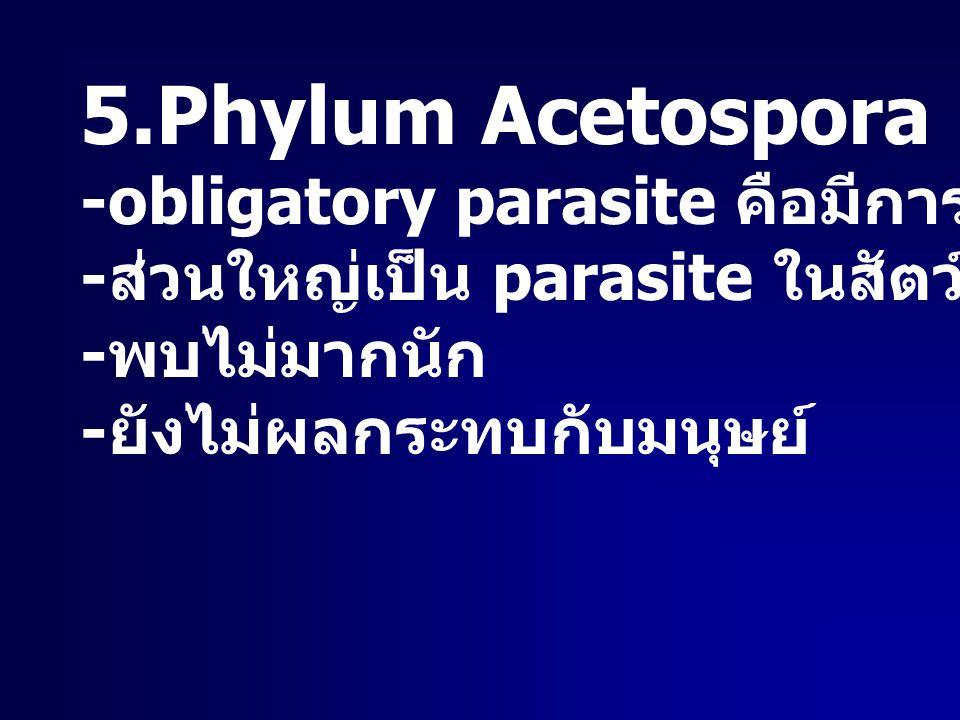5.Phylum Acetospora -obligatory parasite คือมีการสร้างสปอร์ - ส่วนใหญ่เป็น parasite ในสัตว์น้ำพวก หอย - พบไม่มากนัก - ยังไม่ผลกระทบกับมนุษย์