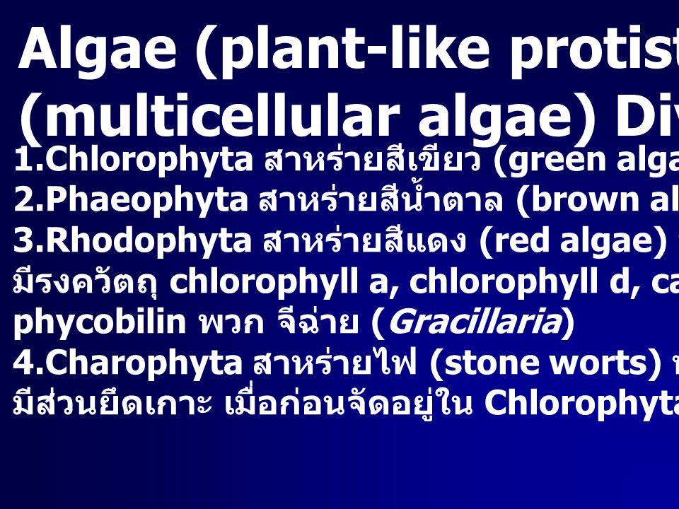 Algae (plant-like protist) สาหร่ายหลายเซลล์ (multicellular algae) Division ต่างๆ 1.Chlorophyta สาหร่ายสีเขียว (green algae) 2.Phaeophyta สาหร่ายสีน้ำต