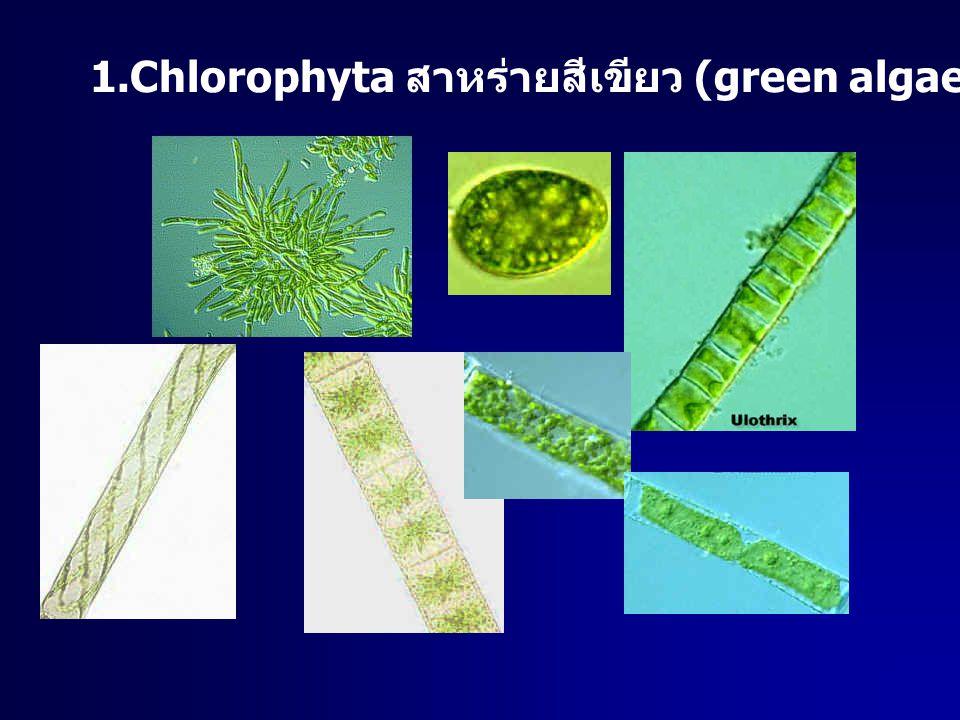 1.Chlorophyta สาหร่ายสีเขียว (green algae)