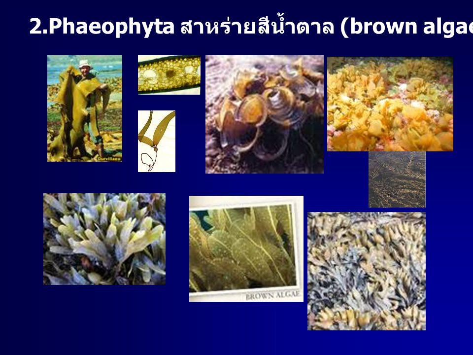 2.Phaeophyta สาหร่ายสีน้ำตาล (brown algae) น้ำเค็ม ขนาดใหญ่