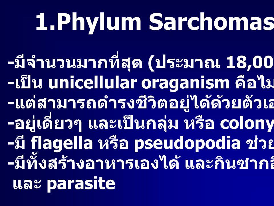 1.Phylum Sarchomastigophora - มีจำนวนมากที่สุด ( ประมาณ 18,000 ชนิด ) - เป็น unicellular oraganism คือไม่มีอวัยวะหรือเนื้อเยื่อ - แต่สามารถดำรงชีวิตอย