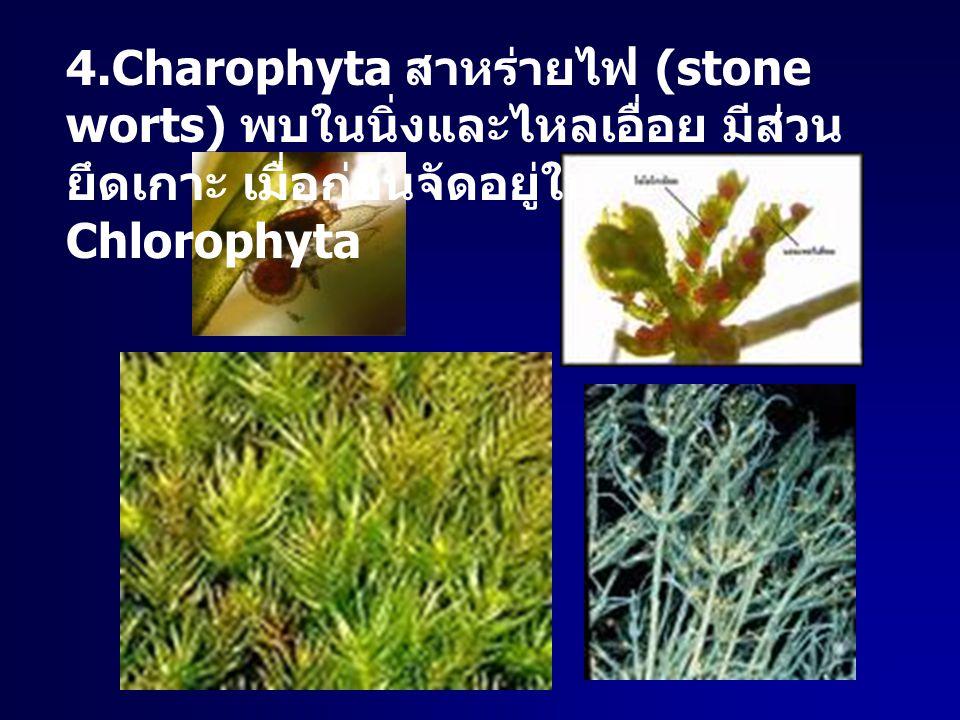 4.Charophyta สาหร่ายไฟ (stone worts) พบในนิ่งและไหลเอื่อย มีส่วน ยึดเกาะ เมื่อก่อนจัดอยู่ใน Chlorophyta