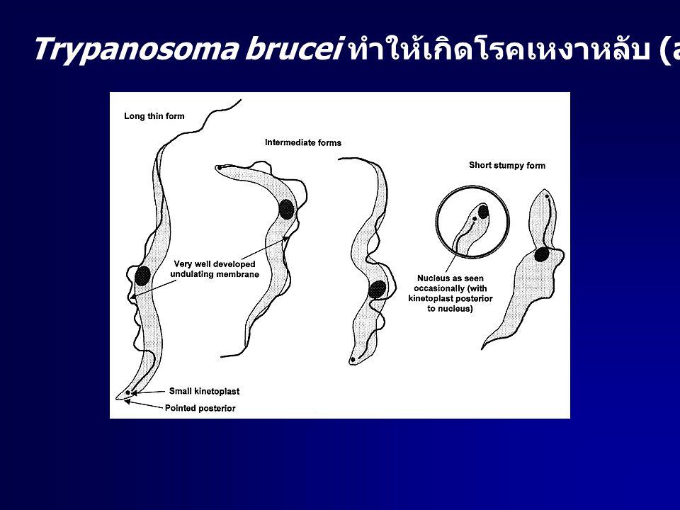 Trypanosoma brucei ทำให้เกิดโรคเหงาหลับ (african sleeping sickness)