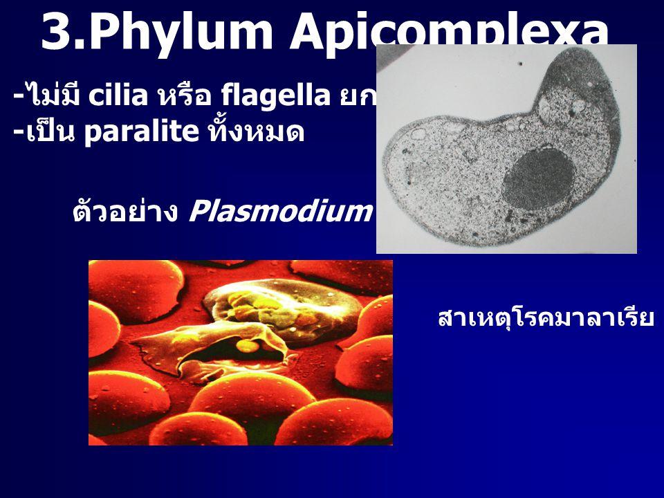 3.Phylum Apicomplexa - ไม่มี cilia หรือ flagella ยกเว้นช่วงวืบพันธุ์ - เป็น paralite ทั้งหมด ตัวอย่าง Plasmodium สาเหตุโรคมาลาเรีย