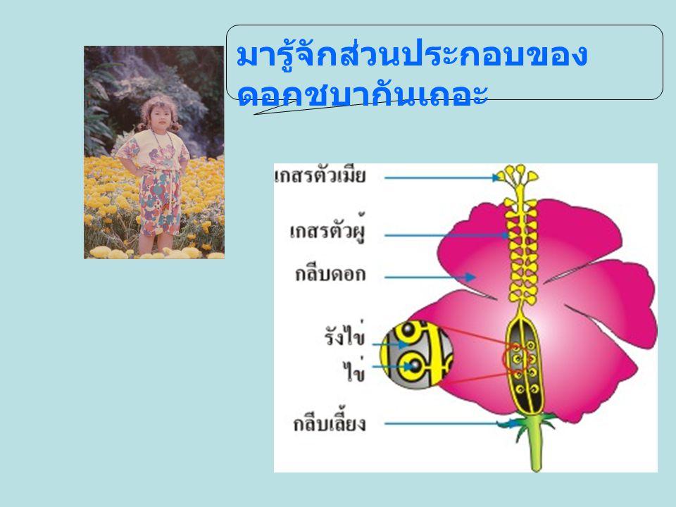 การเปรียบเทียบส่วนประกอบของดอกไม้ที่สำรวจ ชื่อดอกไม้กลีบเลี้ยงกลีบดอกเกสร ตัวผู้ เกสร ตัวเมีย รังไข่ ชบา ///// ต้อยติ่ง ///// มะละกอ ( ตัวผู้ ) // กุหลาบ ///// มะเขือ ///// กล้วยไม้ //// ดอกบวบ ( ตัวเมีย ) /// เฟื่องฟ้า ////