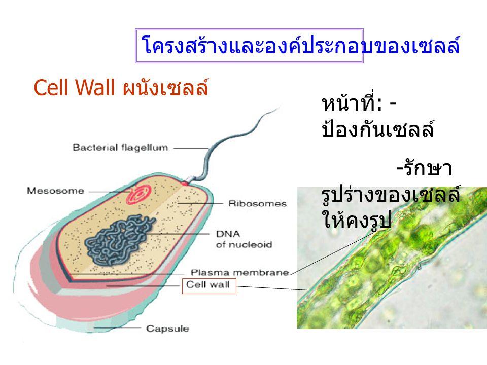 โครงสร้างและองค์ประกอบของเซลล์ Cell Wall ผนังเซลล์ หน้าที่ : - ป้องกันเซลล์ - รักษา รูปร่างของเซลล์ ให้คงรูป