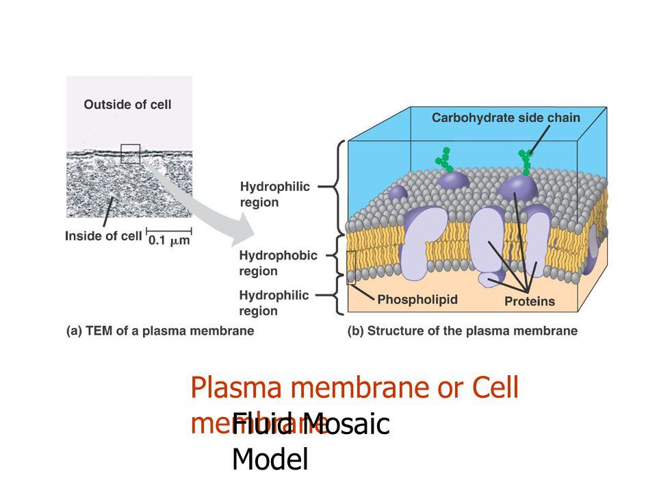 Plasma membrane or Cell membrane Fluid Mosaic Model