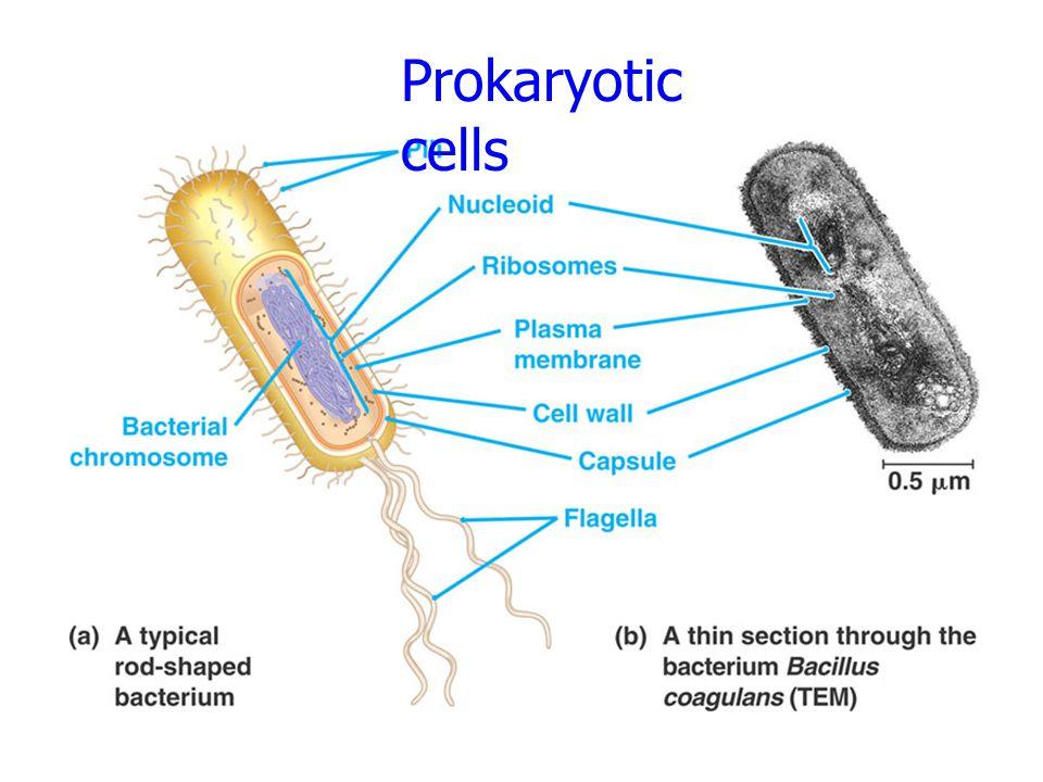หน้าที่ของเยื่อหุ้มเซลล์ (plasma membrane function) 1.