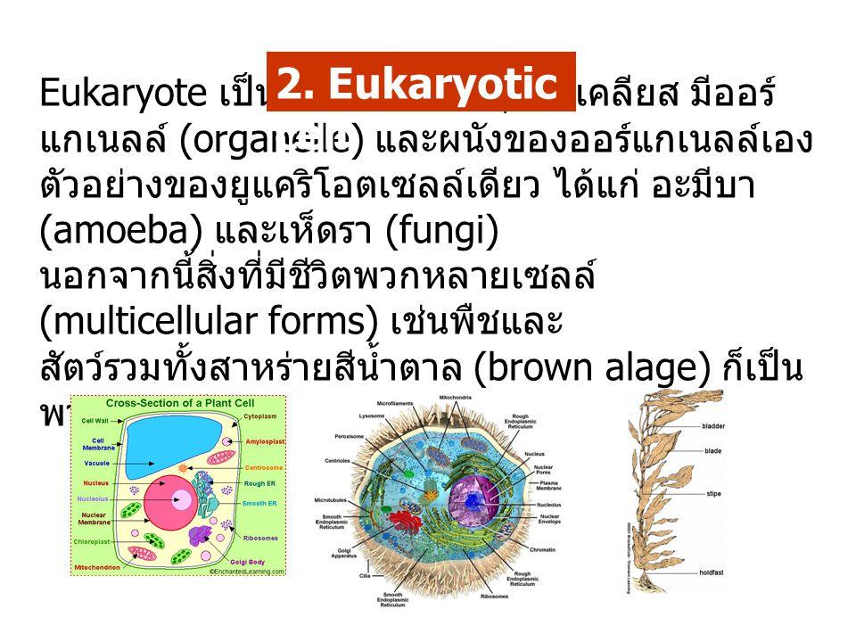 Eukaryote เป็นเซลล์ที่มี เยื่อหุ้มนิวเคลียส มีออร์ แกเนลล์ (organelle) และผนังของออร์แกเนลล์เอง ตัวอย่างของยูแคริโอตเซลล์เดียว ได้แก่ อะมีบา (amoeba)