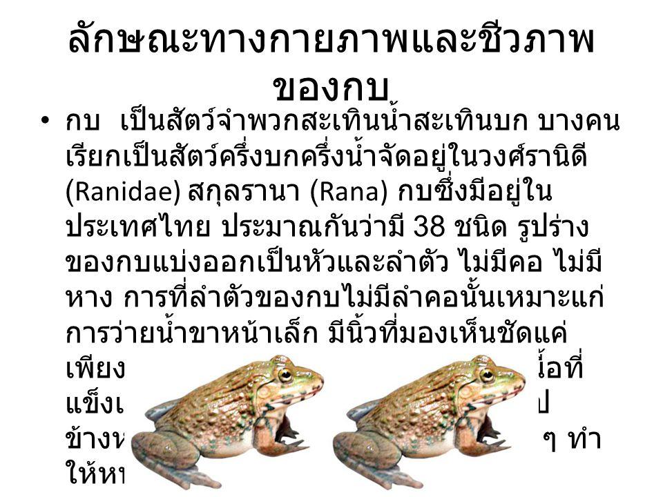 ลักษณะทางกายภาพและชีวภาพ ของกบ กบ เป็นสัตว์จำพวกสะเทินน้ำสะเทินบก บางคน เรียกเป็นสัตว์ครึ่งบกครึ่งน้ำจัดอยู่ในวงศ์รานิดี (Ranidae) สกุลรานา (Rana) กบซึ่งมีอยู่ใน ประเทศไทย ประมาณกันว่ามี 38 ชนิด รูปร่าง ของกบแบ่งออกเป็นหัวและลำตัว ไม่มีคอ ไม่มี หาง การที่ลำตัวของกบไม่มีลำคอนั้นเหมาะแก่ การว่ายน้ำขาหน้าเล็ก มีนิ้วที่มองเห็นชัดแค่ เพียงสี่นิ้ว ขาหลังแต่ละท่อนมีมัดกล้ามเนื้อที่ แข็งแรงค้ำจุน ช่วยให้กบกระโดดพุ่งตัวไป ข้างหน้าได้รวดเร็ว มีต่อมเมือกและน้ำใส ๆ ทำ ให้หนังของกบมีความเปียกชุ่มอยู่เสมอ