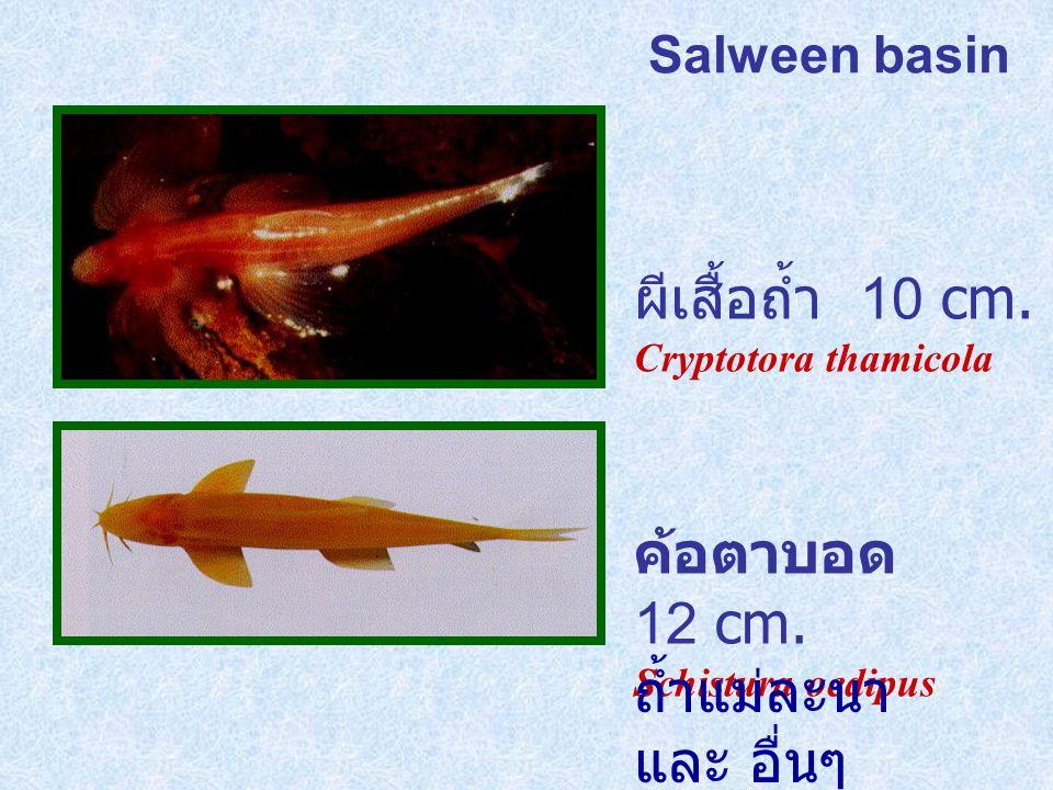 Salween basin ผีเสื้อถ้ำ 10 cm.Cryptotora thamicola ค้อตาบอด 12 cm.