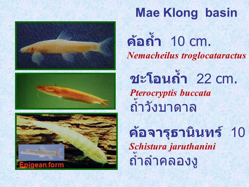 Mae Klong basin ค้อจารุธานินทร์ 10 cm.Schistura jaruthanini ถ้ำลำคลองงู ค้อถ้ำ 10 cm.