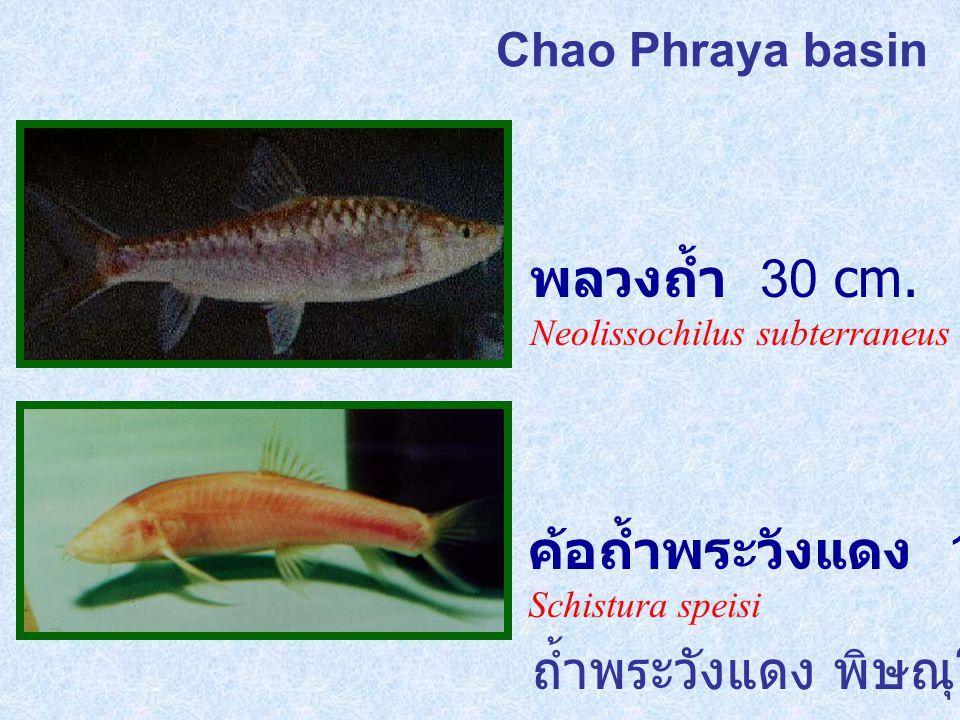 Chao Phraya basin พลวงถ้ำ 30 cm.Neolissochilus subterraneus ค้อถ้ำพระวังแดง 15 cm.