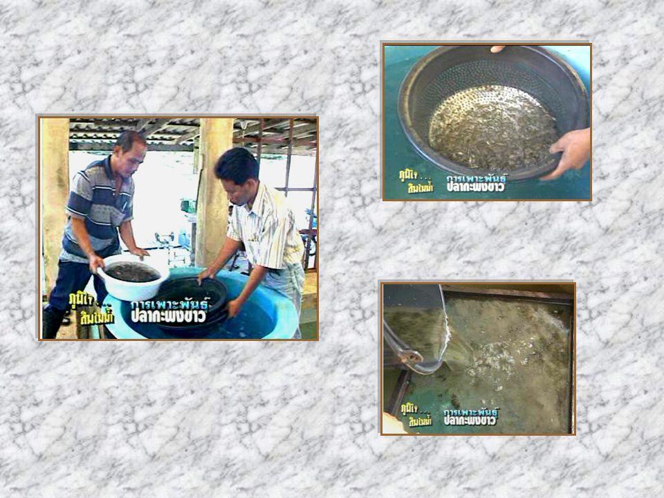 การจัดปลาลงเลี้ยงใน กระชังและอัตราปล่อย จะต้องคัดปลาที่มีขนาดใกล้เคียงกัน อยู่ในกระชังเดียวกัน สามารถปล่อย ปลากะพงขาวขนาด 4 นิ้ว ลงเลี้ยงได้ ในอัตราปล่อยตั้งแต่ 40-200 ตัวต่อ ตารางเมตร ทั้งนี้ขึ้นอยู่กับ สภาพแวดล้อมและทำเลของที่ตั้ง กระชัง กรณีแม่น้ำลำคลองที่มีสภาพน้ำ ไม่ดีนัก น้ำไหลถ่ายเทไม่ดีพอ สามารถ ปล่อยเลี้ยงได้ในอัตรา 40-100 ตัวต่อ ตารางเมตร ถ้าสภาพทำเลและแหล่ง น้ำดีก็ปล่อยได้ในอัตราสูงถึง 200 ตัว / ตารางเมตร