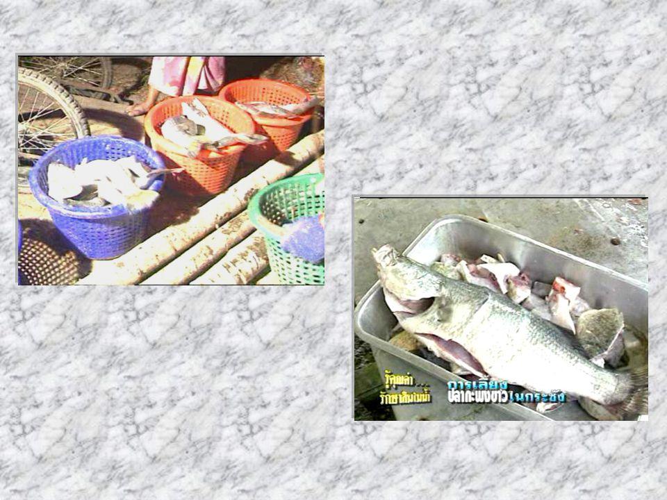 การเจริญเติบโตและ ผลผลิต ปลากะพงขาวที่เลี้ยงในกระชัง จะเจริญเติบโตได้ขนาดตลาด (500- 800 กรัม ) ในระยะเวลาการเลี้ยง ประมาณ 6-7 เดือน