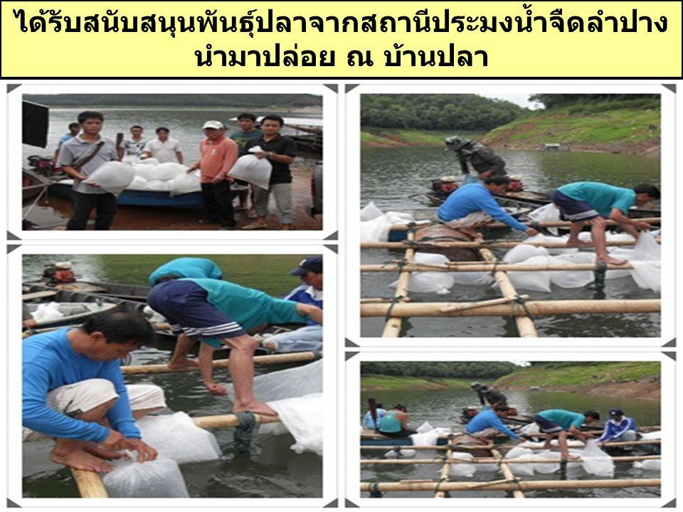 ได้รับสนับสนุนพันธุ์ปลาจากสถานีประมงน้ำจืดลำปาง นำมาปล่อย ณ บ้านปลา ( โครงการธนาคารปลาบู่ร่วมชุมชน )