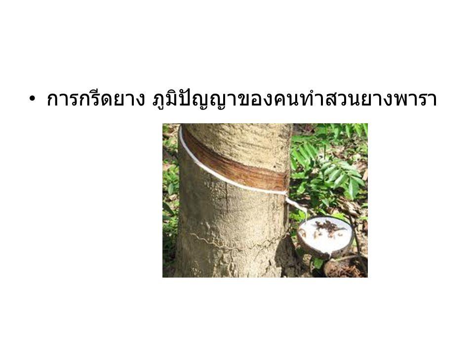 การกรีดยาง ภูมิปัญญาของคนทำสวนยางพารา