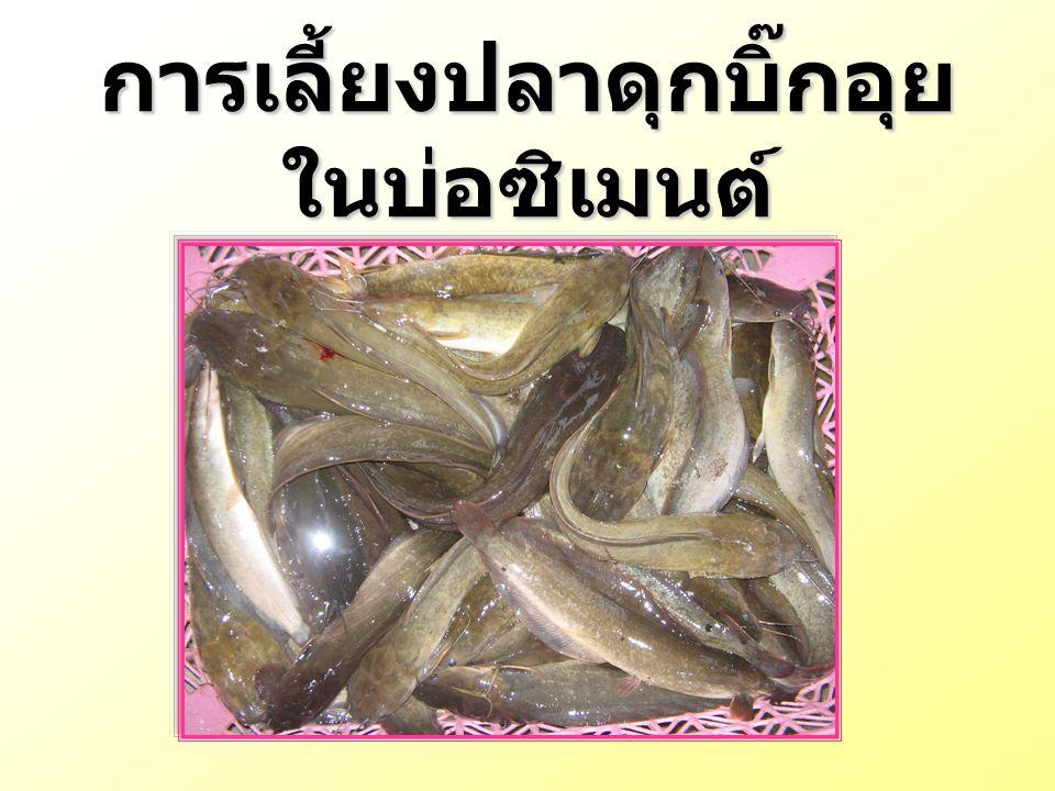 ปลาดุกบิ๊กอุย เป็นปลาที่เกิด จากการผสมข้ามพันธุ์ระหว่างปลา ดุกอุย (Clarias macrocephalus) เพศเมียกับปลาดุกเทศ (Clarias gariepinus) เพศผู้ที่มีถิ่นกำเนิดใน ทวีปแอฟริกาในปัจจุบันปลาดุกบิ๊ก อุย เป็นที่นิยมเลี้ยง เนื่องจากเลี้ยง ง่าย โตเร็ว ทนทาน ต่อโรค และ สภาพแวดล้อมได้ดี เป็นที่นิยม บริโภค และราคาถูก