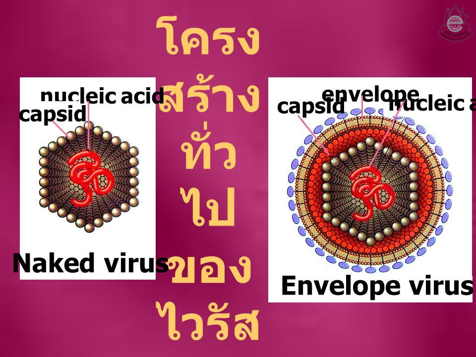 โครง สร้าง ทั่ว ไป ของ ไวรัส nucleic acid capsid Naked virus nucleic acid envelope capsid Envelope virus