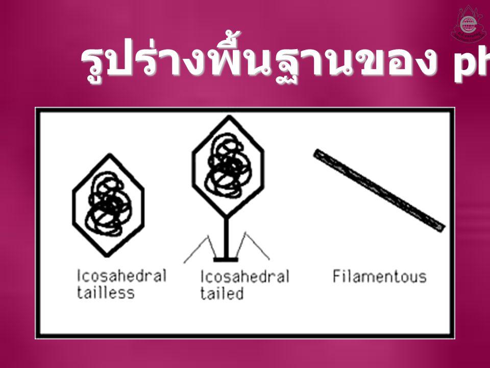 รูปร่างพื้นฐานของ phage