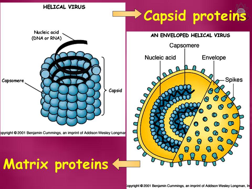 Capsid proteins Matrix proteins