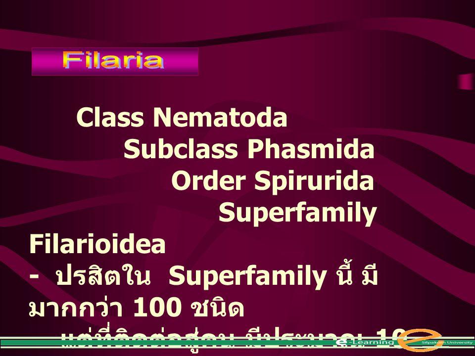 Class Nematoda Subclass Phasmida Order Spirurida Superfamily Filarioidea - ปรสิตใน Superfamily นี้ มี มากกว่า 100 ชนิด แต่ที่ติดต่อสู่คน มีประมาณ 10 ช