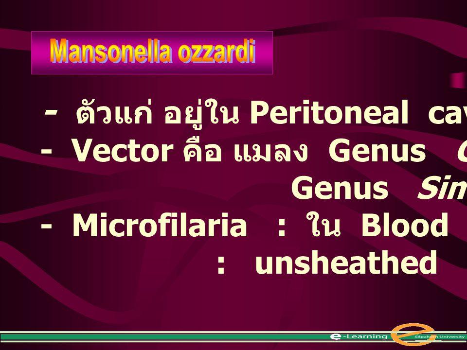- ตัวแก่ อยู่ใน Peritoneal cavity - Vector คือ แมลง Genus Culicoides Genus Simulium - Microfilaria : ใน Blood อาจพบใน Skin : unsheathed