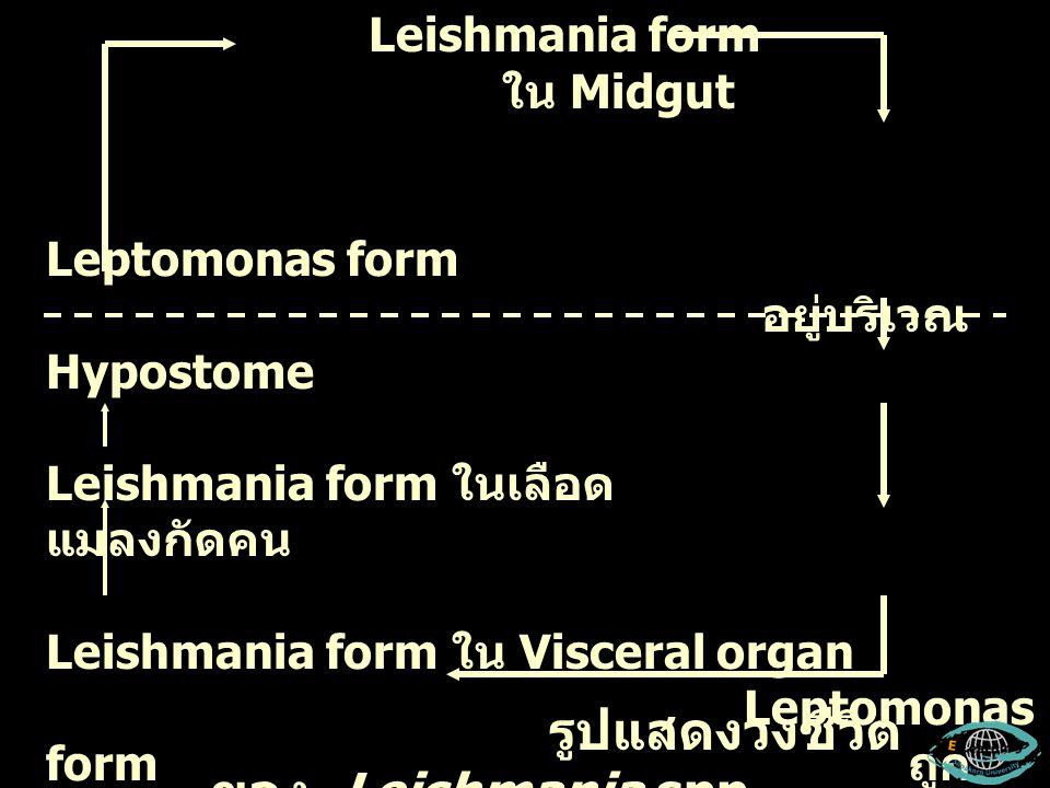 Leishmania form ใน Midgut Sand fly Leptomonas form อยู่บริเวณ Hypostome Leishmania form ในเลือด คน แมลงกัดคน Leishmania form ใน Visceral organ Leptomo
