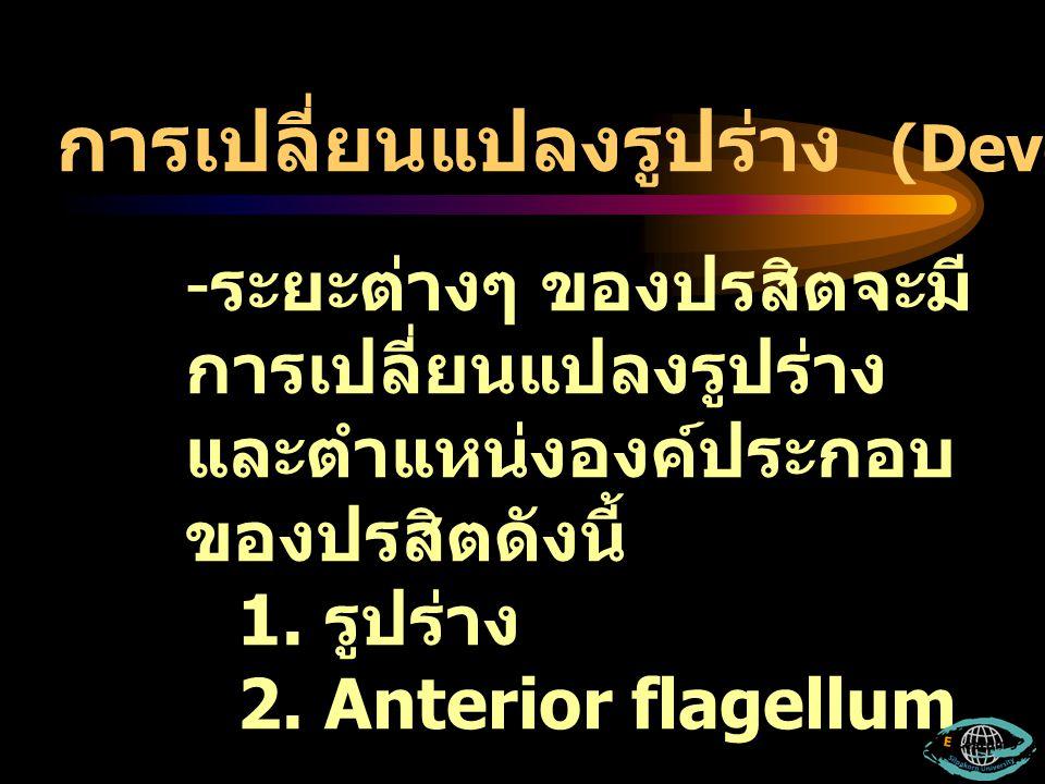 -ร-ระยะต่างๆ ของปรสิตจะมี การเปลี่ยนแปลงรูปร่าง และตำแหน่งองค์ประกอบ ของปรสิตดังนี้ 1. รูปร่าง 2. Anterior flagellum การเปลี่ยนแปลงรูปร่าง (Developmen